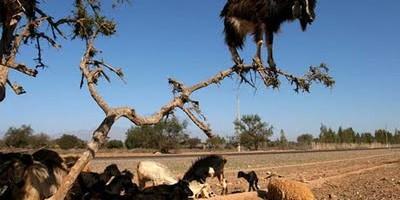kambing pokok